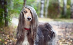 Afghan Hound Are Highly Recognized For Its Long Silky Hair