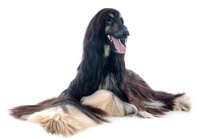 Afghan Hound Needs Regular Grooming To Keep Their Hair Healthy