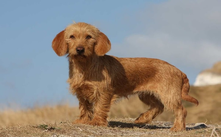 Basset Fauve de Bretagne Dog Breed.