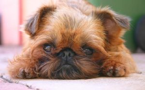 Brussels Griffon Dog Breed.