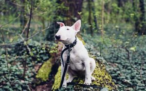 Bull Terrier Dog Breed.
