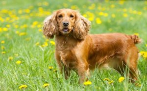 English Cocker Spaniel Dog Breed.