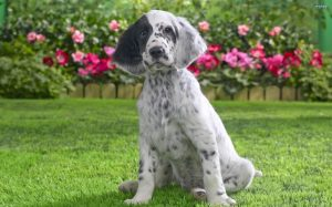 Cute English Setter Dog Breed.
