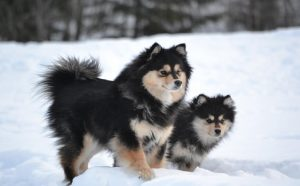 Finnish Lapphunds In The Snow.