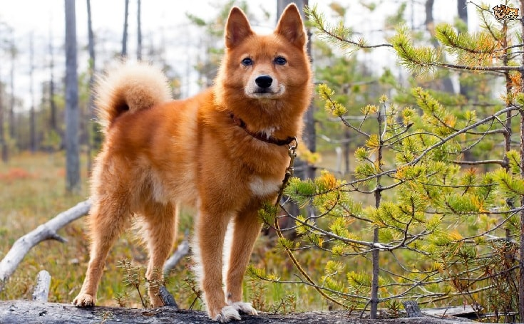 Finnish Spitz Dog.