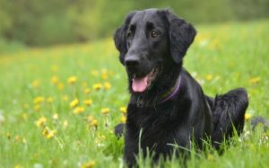 Flat-Coated Retriever Sitting On The Grass.