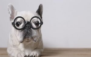 French Bulldog With Specs