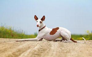 Ibizan Hound Sitting.