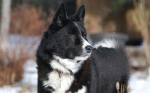 Sturdy looking Karelian Bear Dog.