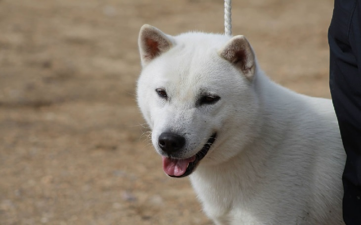 Kishu Ken The Japanese Breed.