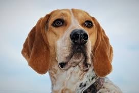 American English Coonhound which is similar to Redbone Coonhound