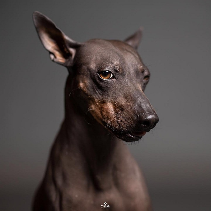 American Hairless Terrier similar dog breed to Rat terrier