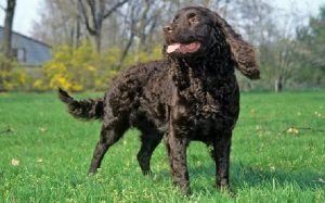 American Water Spaniel Temperament and Personality