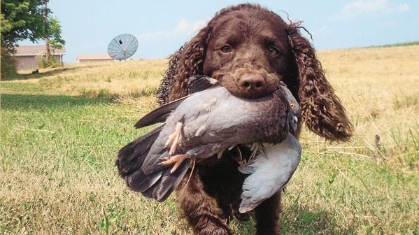 American Water Spaniel Training