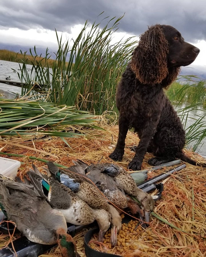 American Water Spaniel With its Prey