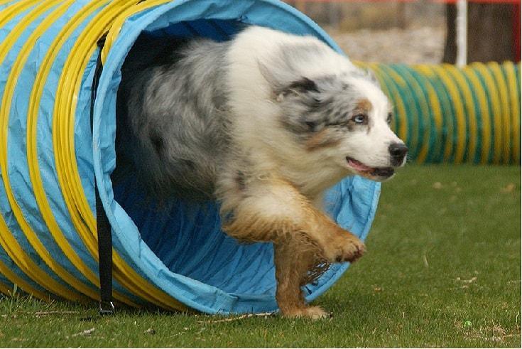 temperament of Australian Shepherd dog