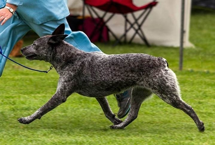 facts of Australian Stumpy Tail Cattle dog