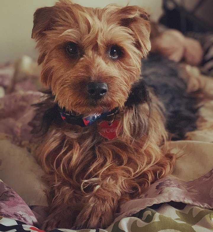 Australian Terrier which is similar to Portuguese Podengo Pequeno