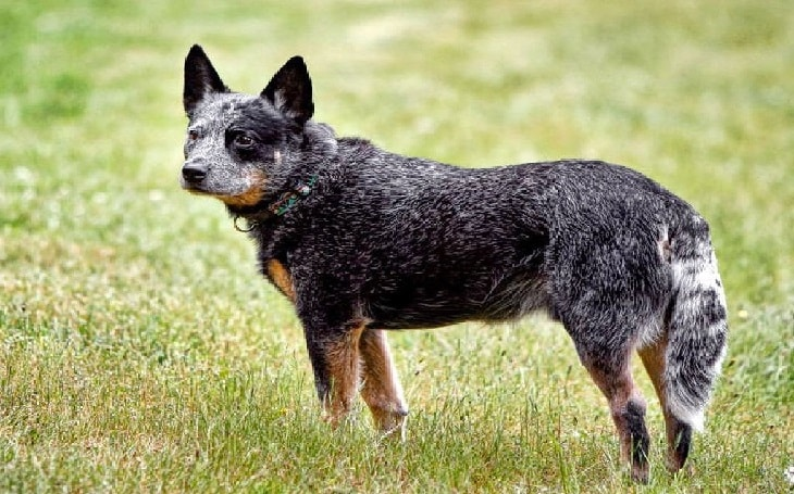 facts of Australian Stumpy Tail Cattle dogs