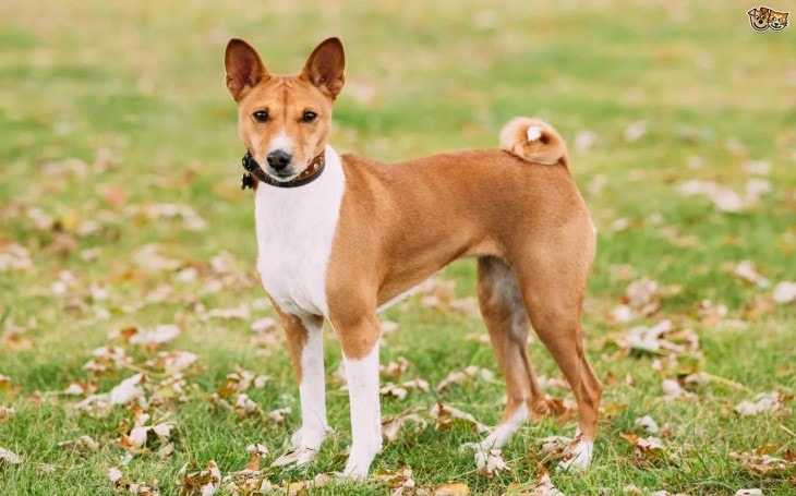 Basenji Are Small Sized Dog Breeds