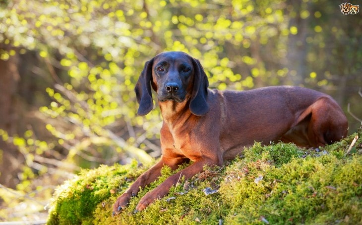 Bavarian Mountain Scent Hound Are Good Family Dogs