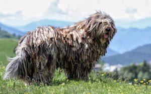 A Bergamasco Sheepdog posing.