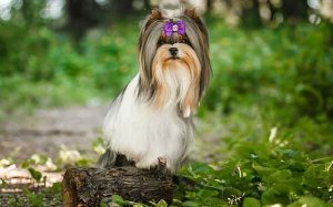A beautiful Biewer Terrier posing.