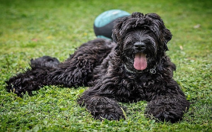 A Black Russian Terrier laying on the grass.