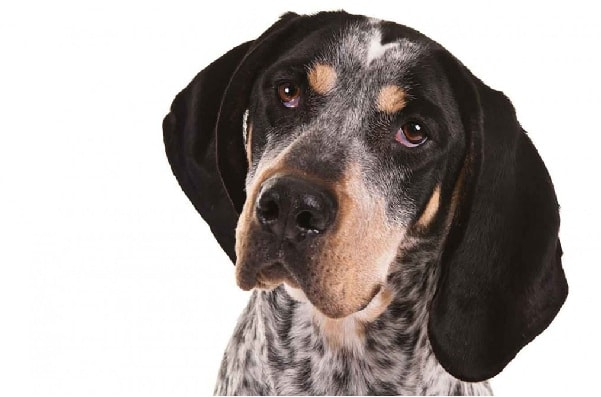 Bluetick Coonhound which is similar to Redbone Coonhound