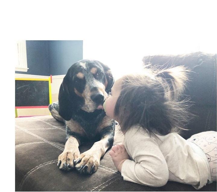 Bluetick Coonhound is child-friendly