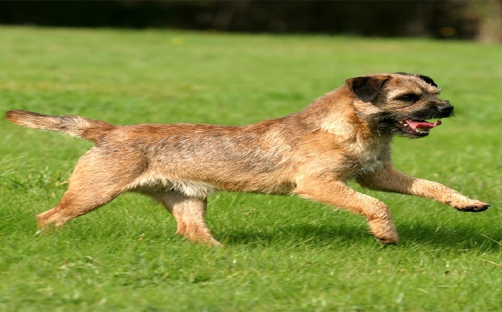 temperament of Border Terrier dogs