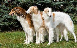 temperament of Borzoi dogs
