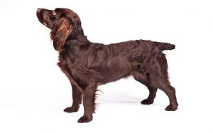 Boykin Spaniel Temperament and Personality