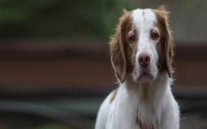 Brittany Dog.