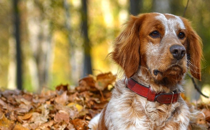 Beautiful Brittany Dog.