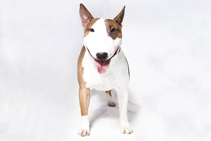 Bull Terrier which is similar to Miniature Bull Terrier