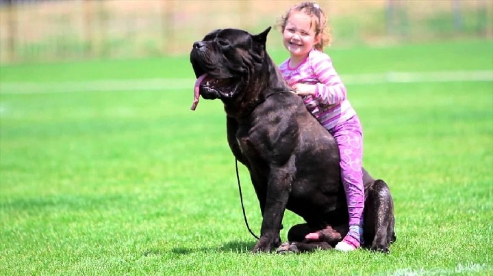 Child on a Cane corso Back
