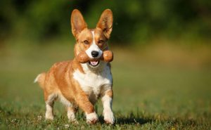 A Cardigan Welsh Corgi running in a garden with a toy.