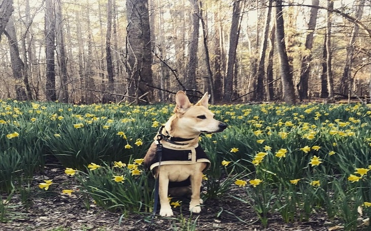 A Carolina dog sitting near a garden.