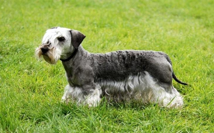Cesky Terrier Dog Breed.