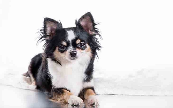 temperament of Chihuahua dog.