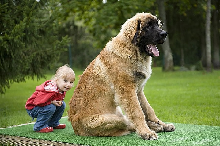 Leonberger is child friendly