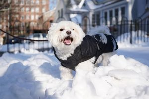 A Coton de Tulear in snow.