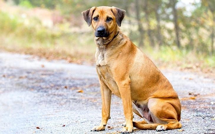 A Cur dog posing.