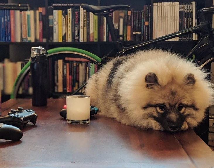 Guilty Keeshond Dog.