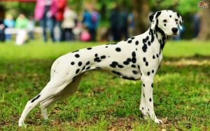 Dalmatian Are Medium-large Sized Dogs