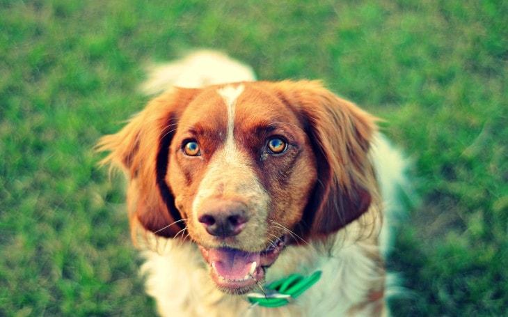 Deutscher Wachtelhund Are medium-Sized Gundog