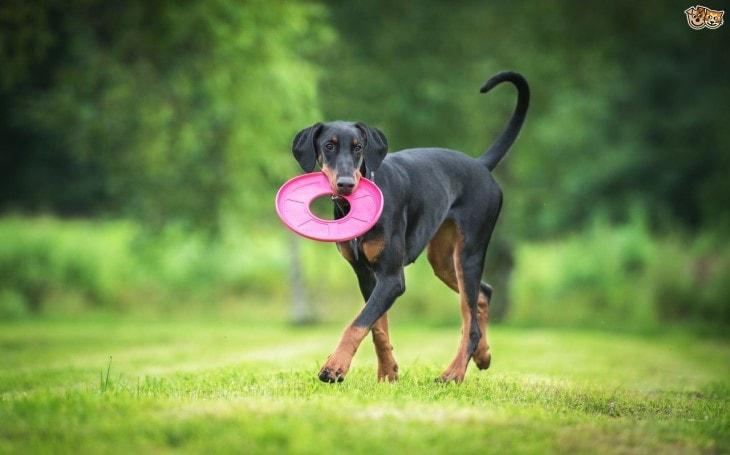 Doberman Are Medium-Sized Dogs