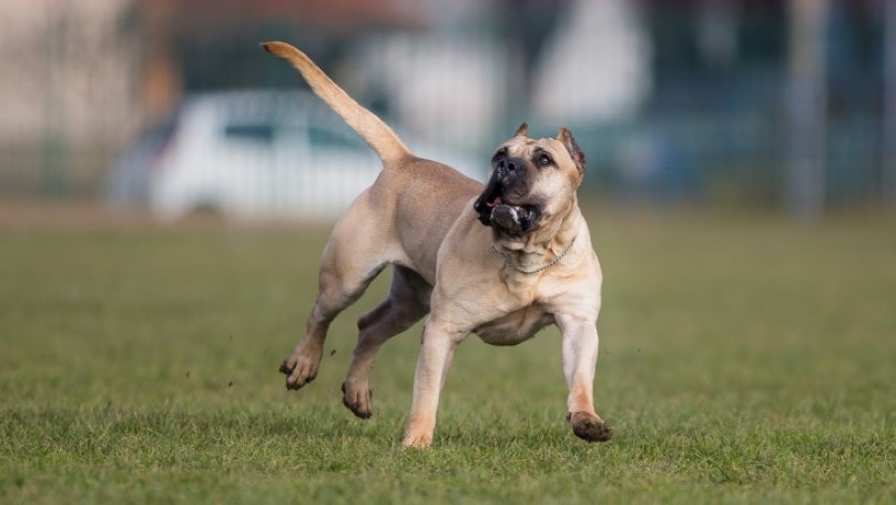 Perro De Presa Canario Is Active Breed