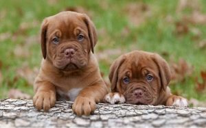 facts of dogue de bordeaux dogs